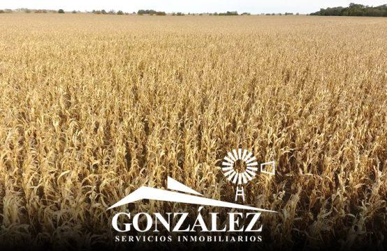 588 hectáreas agrícolas en Pellegrini